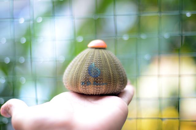 Vỏ cầu gai – nhum biển tháp - hình chụp tại VoOcBien