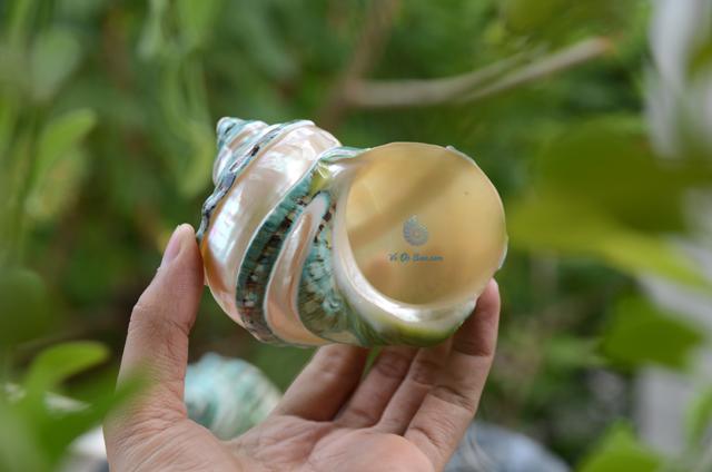 Vỏ ốc khảm xanh nhỏ kẻ vạch mảnh (Pearl Banded Green Snail Shell) - © bản quyền hình chụp tại VoOcBien