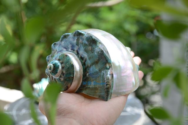 Vỏ ốc khảm xanh trung kẻ vạch lớn - © bản quyền hình chụp tại VoOcBien