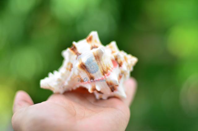 Vỏ ốc gai miệng hồng vân đen - © bản quyền hình ảnh thuộc VoOcBien.com