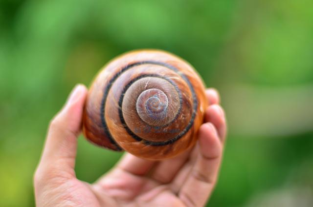 Vỏ ốc sên tròn lớn vàng sọc đen Polymita Picta - © bản quyền hình chụp tại VoOcBien