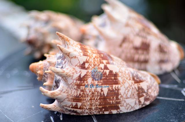 Vỏ ốc sọ dừa mũ vua (Imperial Volute Shells) - © bản quyền hình chụp tại VoOcBien