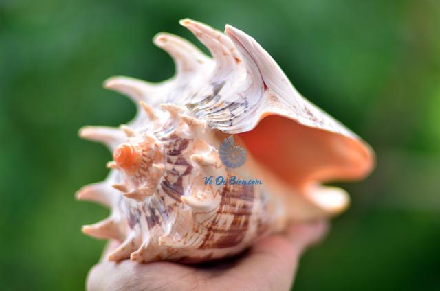Vỏ ốc sọ dừa mũ vua (Imperial Volute Shells)
