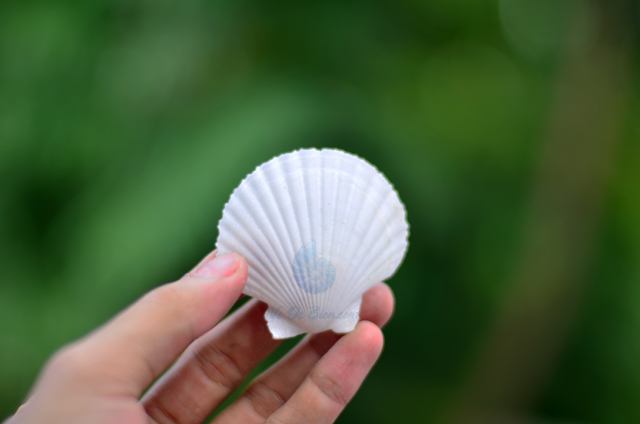 Vỏ sò điệp quạt trắng - © bản quyền hình ảnh thuộc VoOcBien.com