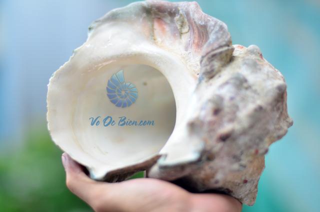 Vỏ Ốc Khảm Xà Cừ Xanh (Thô - Chưa Xử Lý) - © bản quyền hình ảnh thuộc VoOcBien.com