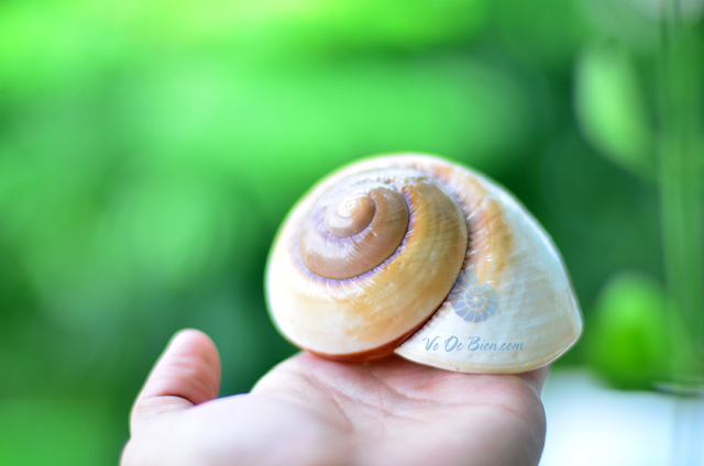 Vỏ ốc mỡ lớn vằn trắng nâu - © bản quyền hình ảnh thuộc VoOcBien.com