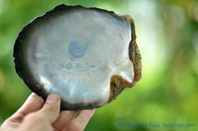 Vỏ trai ngọc sáp đen thô - © bản quyền hình ảnh thuộc VoOcBien.com