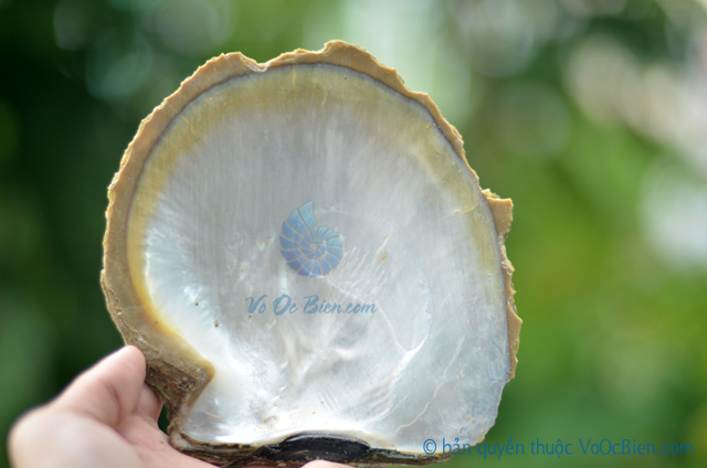 Vỏ trai ngọc sáp vàng thô (size trung) - © bản quyền hình ảnh thuộc VoOcBien.com