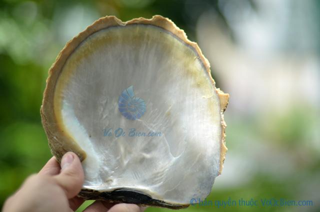 Vỏ trai ngọc sáp vàng thô (size trung)