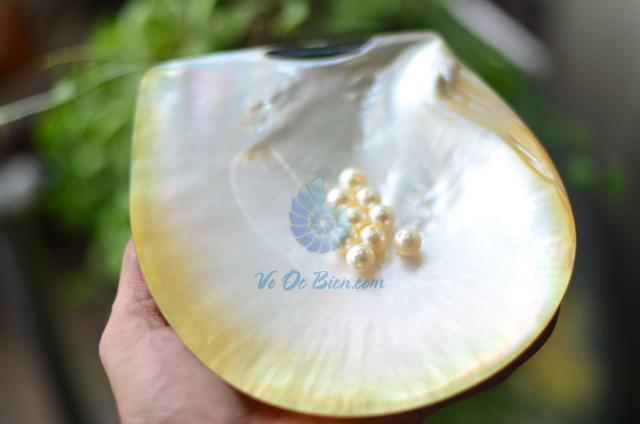 Vỏ trai sáp vàng mài xà cừ - © bản quyền hình ảnh thuộc VoOcBien.com