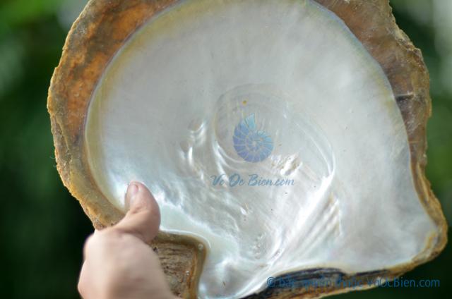 Vỏ trai sáp vàng thô size lớn - © bản quyền hình ảnh thuộc VoOcBien.com