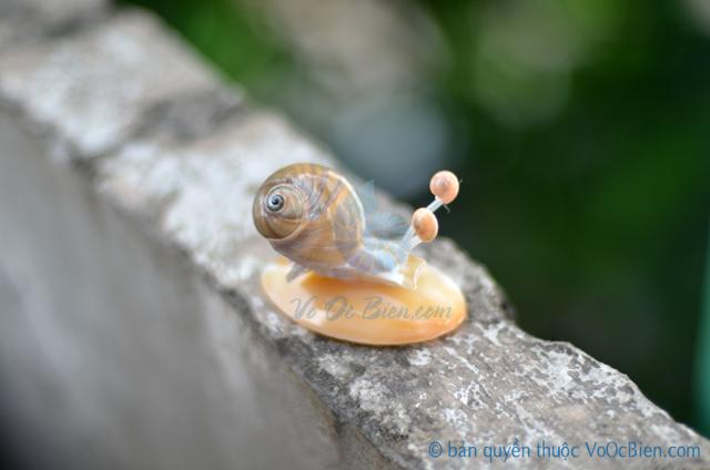 Ốc sên làm từ vỏ sò ốc QLN_15 - © bản quyền hình ảnh thuộc VoOcBien.com