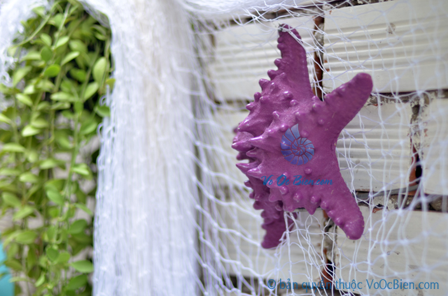 Sao biển gai lớn màu tím violet - © bản quyền hình chụp tại VoOcBien.com