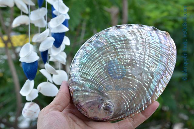 Vỏ bàu ngư vành tai xanh nâu - © bản quyền hình ảnh thuộc VoOcBien