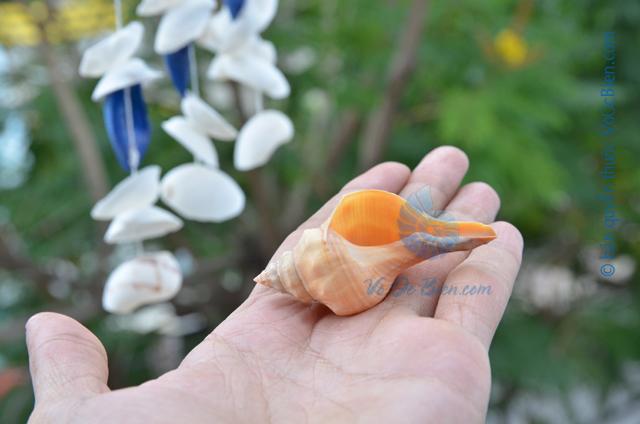Vỏ ốc đỏ - © bản quyền hình ảnh thuộc VoOcBien
