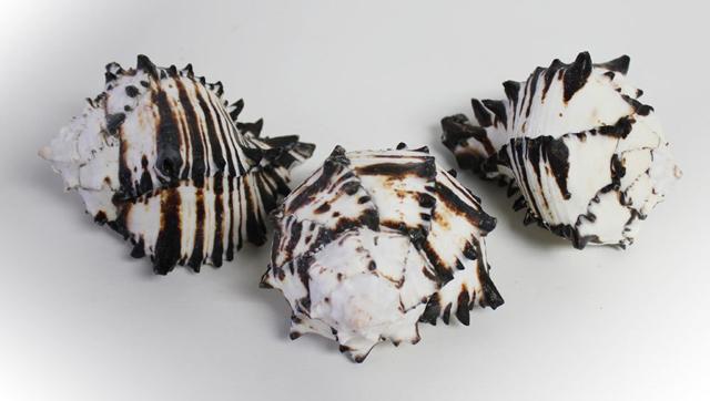 Vỏ ốc gai đen (black murex shell)