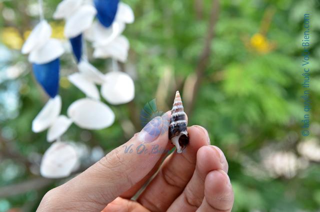 Vỏ ốc nhím đen sọc trắng - © bản quyền hình ảnh thuộc VoOcBien