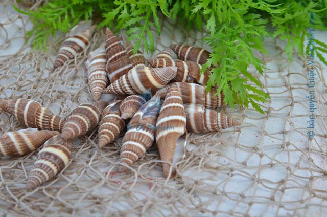 Vỏ ốc ớt nâu - © bản quyền hình ảnh thuộc VoOcBien.com