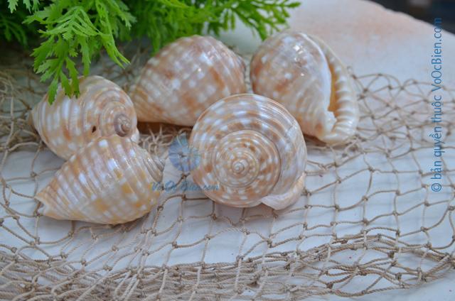 Vỏ ốc tỏi bông nhỏ - © bản quyền hình ảnh thuộc VoOcBien.com