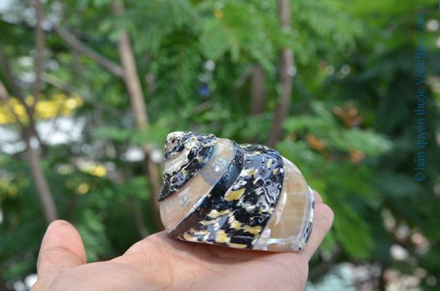 Vỏ ốc xà cừ da rắn kẻ vạch