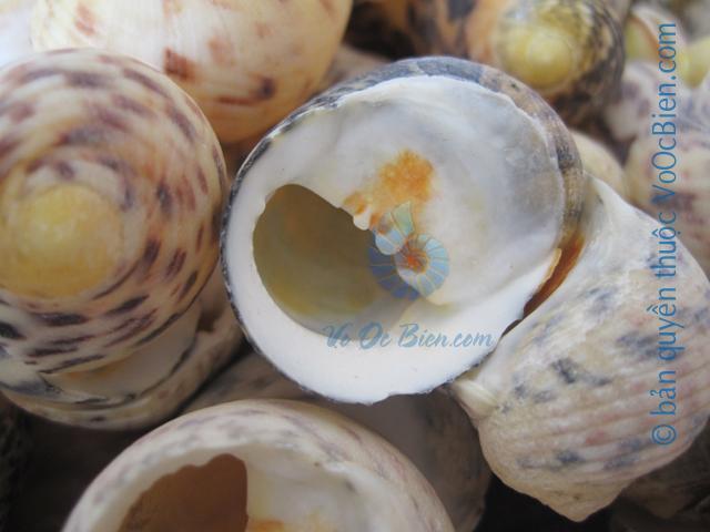 Vỏ ốc móng ngựa da rắn (Bleeding Teeth Shells)