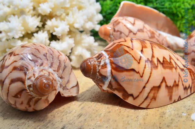 Vỏ ốc sọ dừa Baby