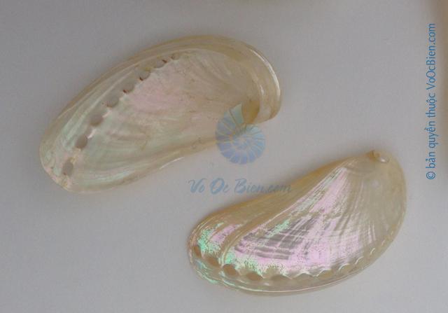 Vỏ bàu ngư vành tai khỉ (Pearl Abalone Shells)