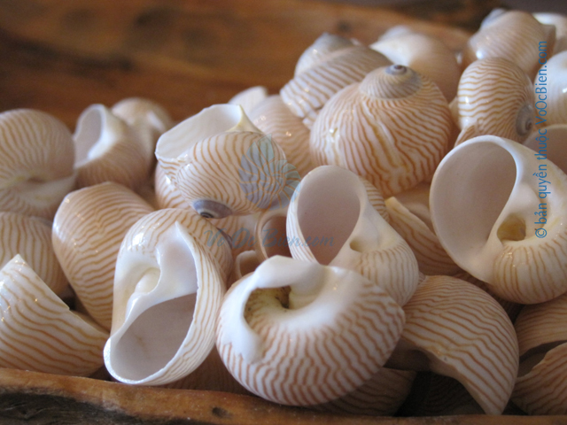 Vỏ ốc mỡ chồn (Tigrina Seahells)