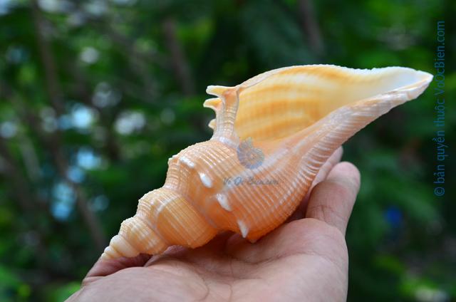 Vỏ ốc mỏ vịt gai (Hemifusus kawamurai shell)