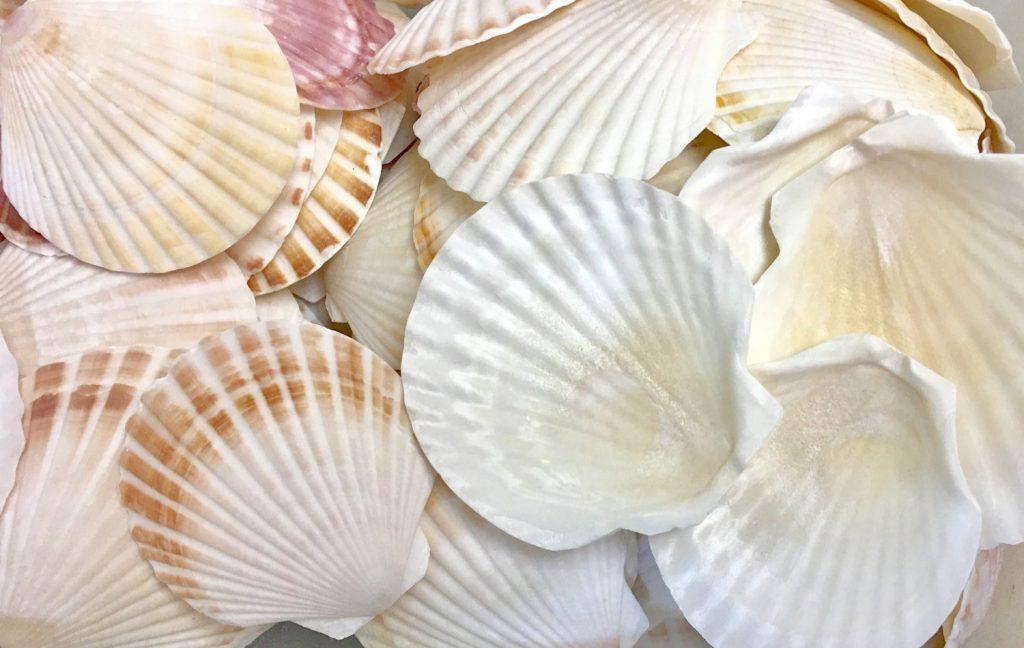 Vỏ sò điệp trắng nâu lớn (Irish Deep Shell)