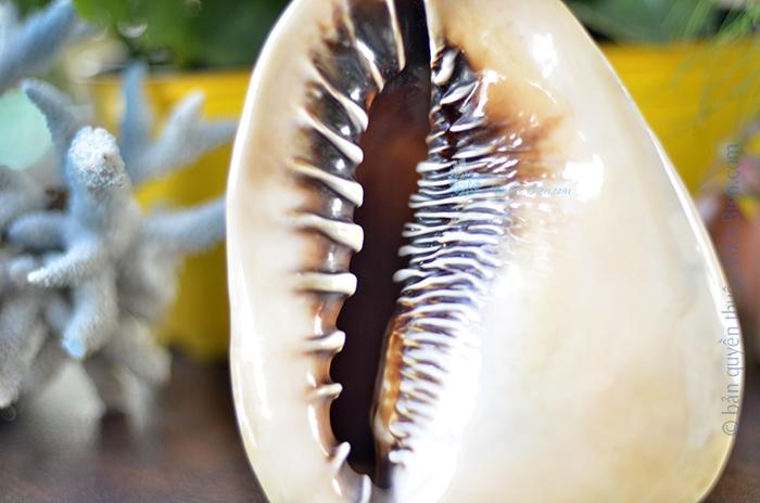 Vỏ ốc kim khôi nữ hoàng (Cassis madagascariensis)