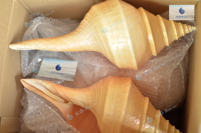 Ốc Kèn Australia (Australian Trumpet Shell)