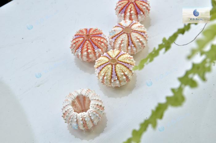 Nhum Biển Vạch Tím Philippin (Sea Urchin)